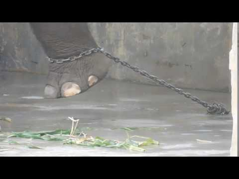 The elephant is chained in Bukittinggi Zoo. He can not move freely