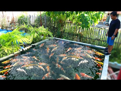 UNTOLD Story About Koi Keeping! How To Cure Common Disease Of KOI & GOLDFISH In Just 5 Days