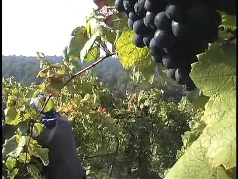 picking grapes in Virginia