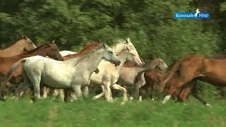 Shael Stud (part 3). Akhal-Teke breed, Ахалтекинская порода лошадей.