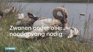 Honderden vogels onder de stookolie: noodopvang in Rotterdam - RTL NIEUWS