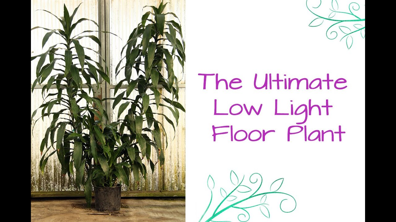 The Ultimate Low Light Floor Plant: Dracaena Janet Craig (or Dr.Lisa on house people, house candy, house decorations, house ferns, house cars, house chemicals, house plans, house gifts, house vines, house family, house slugs, house design, house flowers, house rodents, house fire, house crafts, house home, house nature, house stars, house mites,