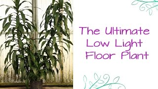 The Ultimate Low Light Floor Plant: Dracaena Janet Craig (or Dr.Lisa)