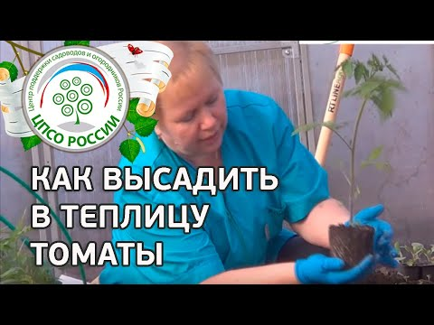 Как посадить томаты в теплице. Высаживаем рассаду.