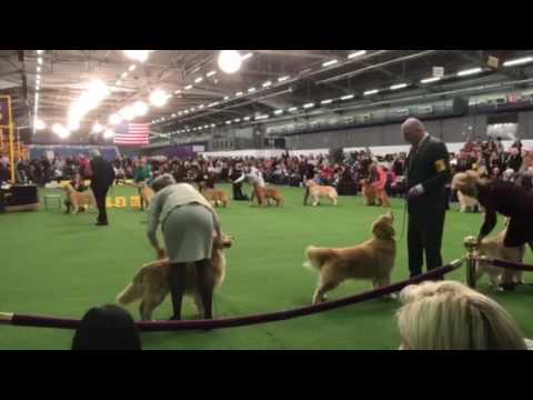 141th Westminster Kennel Club Dog Show Golden  Retriever