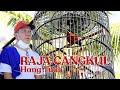 Aksi Murai Batu Raja Cangkul Milik Mr Rudi Dafin  Mp3 - Mp4 Download