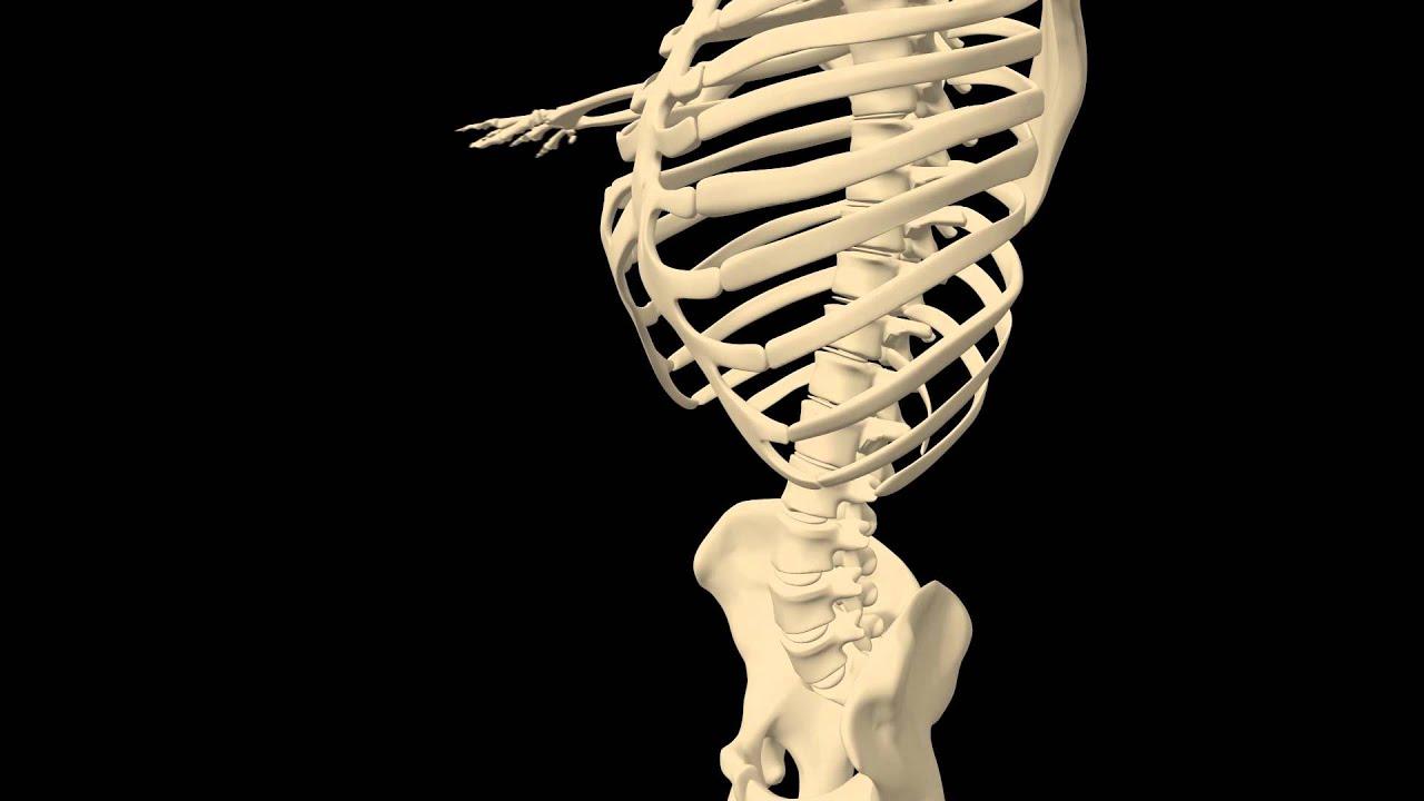 Royalty Free Medical Human Skeleton Hd Footage Ribs Close Up