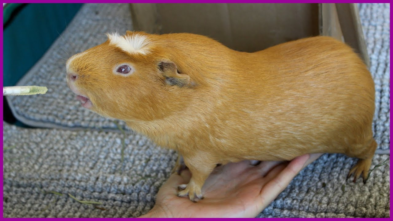 How to pet a guinea pig's belly