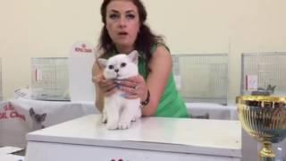 Британская кошка шиншилла SILVERBRI
