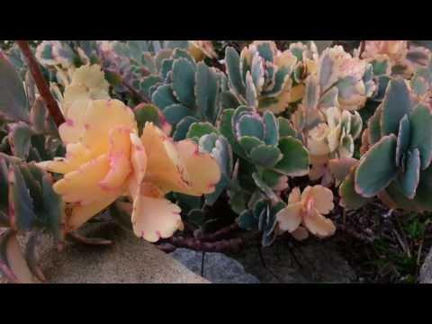 Каланхоэ: виды, выращивание и уход - Комнатные растения и