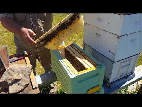 Beekeeping - Checking the top bars and looking for queen cells.