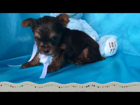 Yorkie Puppies For Sale In NC