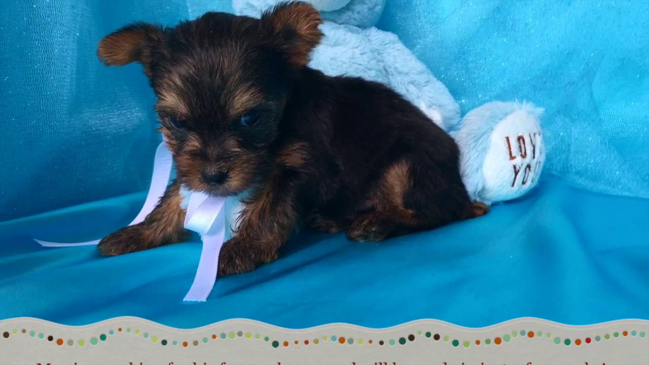 Yorkie Puppies For Sale In Nc Youtube