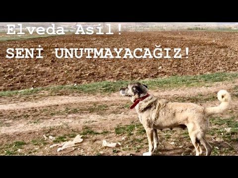 Asil'i KAYBETTİK! 18.06.2018
