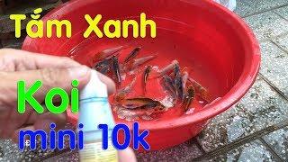 Hồ Koi mini ! Tắm Xanh Cá Koi mini Trước Khi Thả Nuôi (18.7.2018)😍Disease prevention for Koi mini