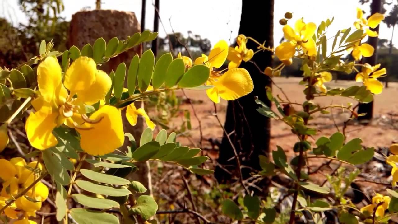 Avaram Poo Aavaram Senna Flower Ranawara Yellow Flower Hd