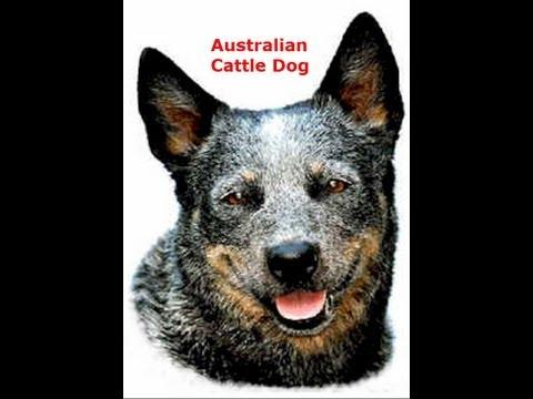 australian-cattle-dog-(a.c.d.)