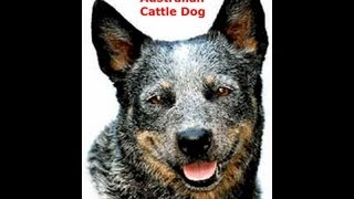 Australian Cattle Dog (a.c.d.)
