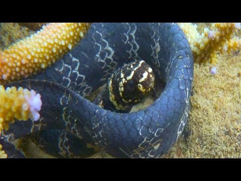 Marine snakes: they turn black in response to industrial pollution.