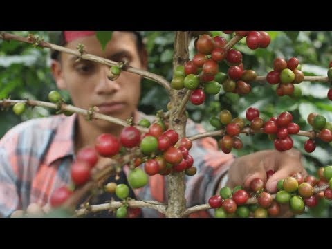 A declining bee population in Guatemala could be hurting coffee crops