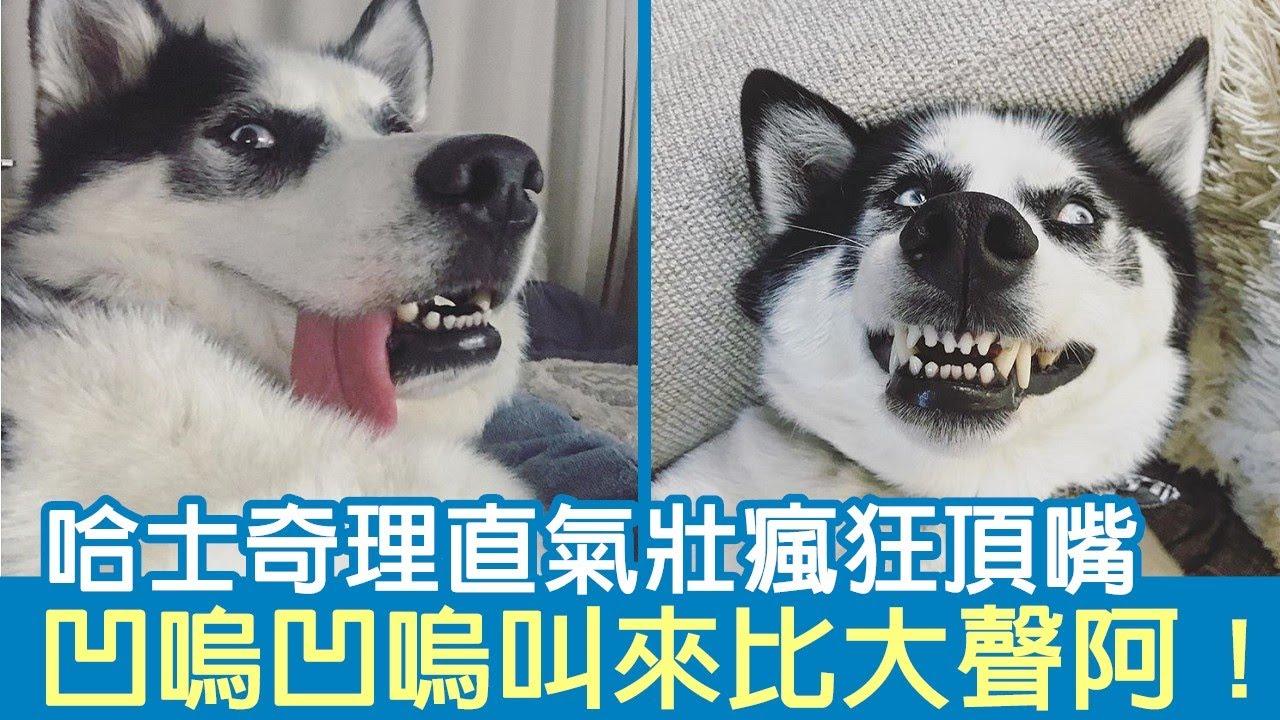 拆家被罵哈士奇理直氣壯瘋狂頂嘴!凹嗚凹嗚叫來比大聲阿!|狗狗搞笑