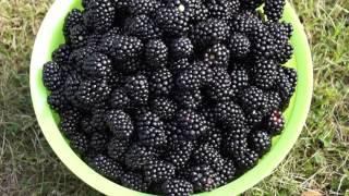 Выращивание ежевики - урожайность (видео)(Выращивание ежевики - урожайность (видео) На нашем канале вы найдёте лучшие новые идеи для открытия домашне..., 2015-10-09T05:23:34.000Z)