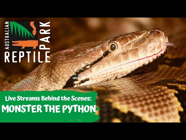 LIVE WITH MONSTER THE RETICULATED PYTHON   AUSTRALIAN REPTILE PARK