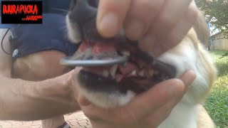 DOGs DENTURE       dogs tooth decoration