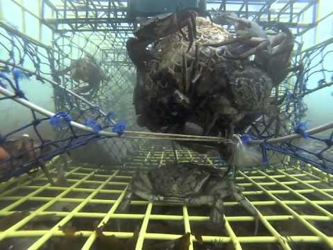 Bycatch lobster trap investigation - YouTube