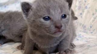 русская голубая, котенок, кошечка.