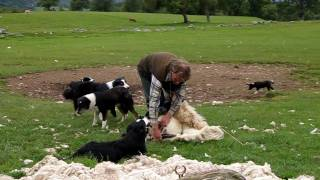 A Working Sheepdog farm - Shearing the sheep in Scotland