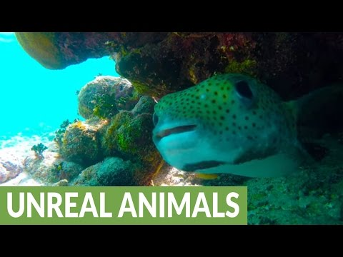 Funny-looking puffer fish fascinated by diver's camera