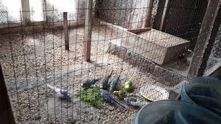 скоро выставка // зеленые витамины для попугаев