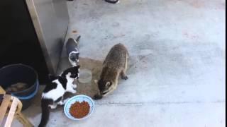 Енот  стырил еду у кошек