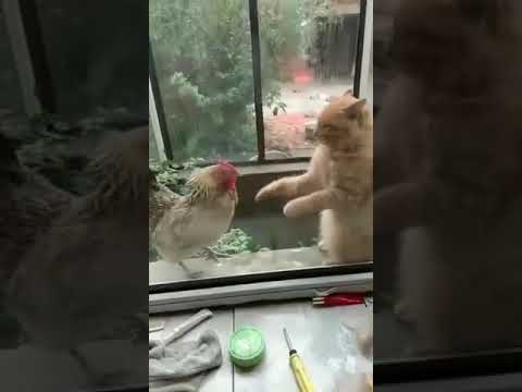 The Jim Colbert Show - Chicken Boxing vs. Wing Chun Cat