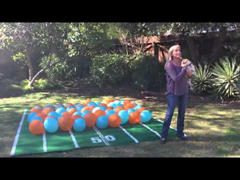Super bowl predictions, balloon popping dog, Twinkie, 2016