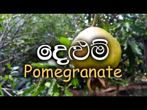 Delum - Pomegranate - Punica granatum - Ayurvedic Plants