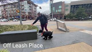 Wendel 10 Month Old Standard Schnauzer Before & After Video Off Leash K9 Training DFW