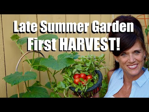 First HARVEST of the Late Summer Garden and How it is Growing // #3