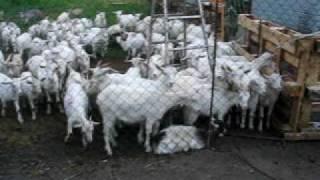 Козья ферма на Балкере - начало Лукоза