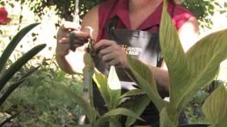 How to Care for a Canna Plant