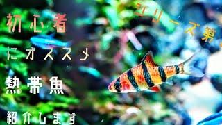 【初心者にオススメシリーズ】プンティウス・ジョホレンシス thumbnail