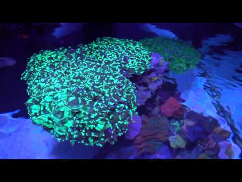 Let's talk about Frogspawn, one of my favorite corals!