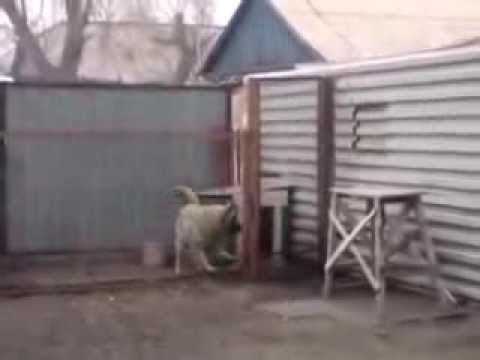 Собака танцевака  уникальная собака прикол! Amazing dancing dog. Modern Talking