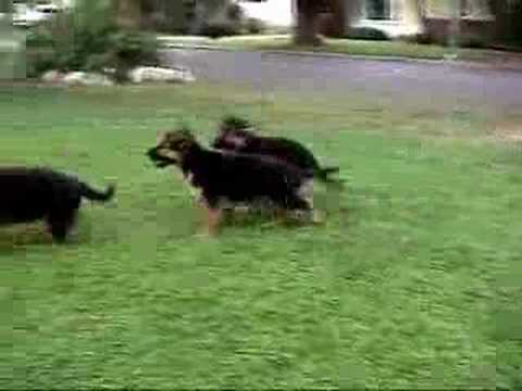 Cute German Shepherd Puppies at Play!