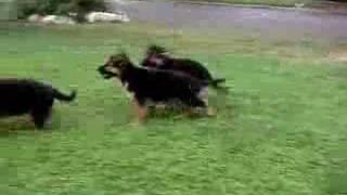Cute German Shepherd Puppies at Play!