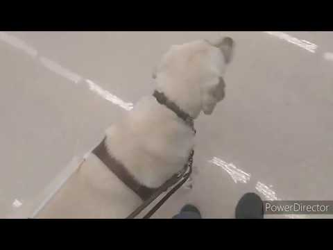 Guide Dog Goes Grocery Shopping (😆public Reaction😆)