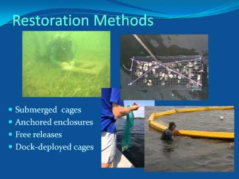 CHNEP Watershed Summit: Bay Scallop Abundance and Recruitment with Implications for Restoration