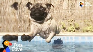 Pug LOVES To Swim + Other Pets Who Love Splashing Around | The Dodo Top 5 thumbnail
