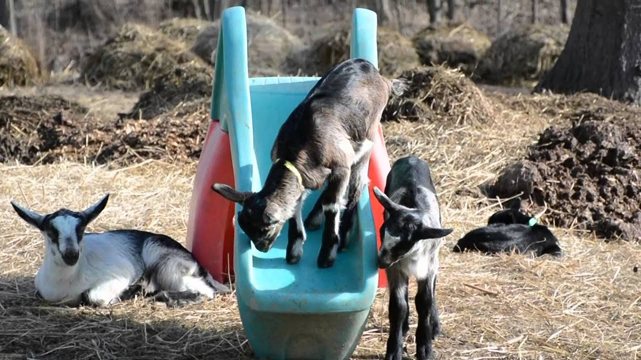 Dandy & Lion -- baby goats--climbing the tree, hopping ... |Baby Goats Playing Youtube